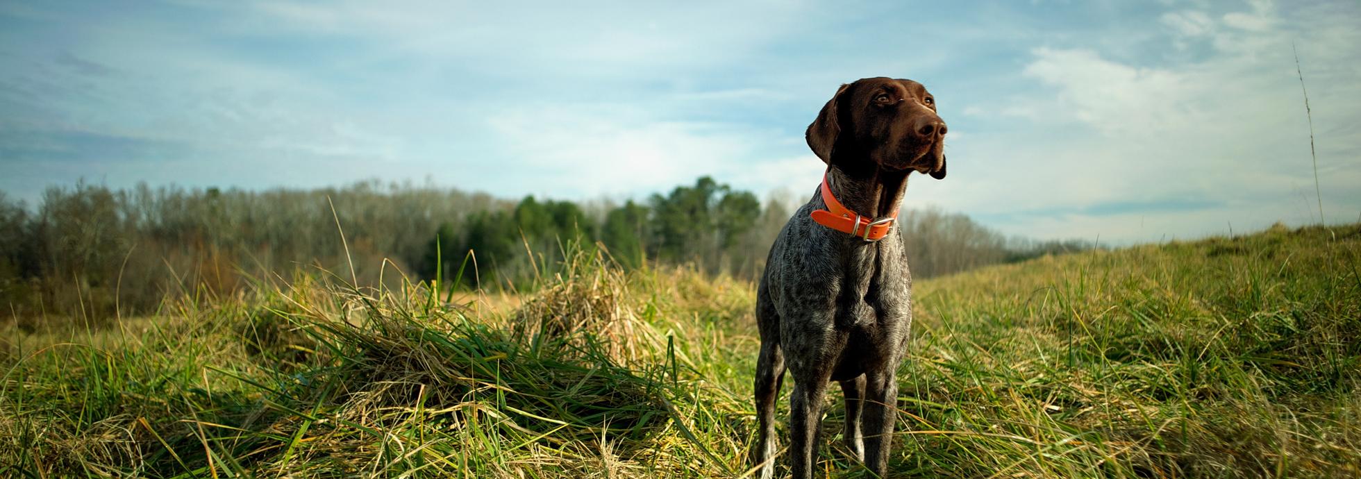Come scegliere le crocchette per cani da caccia 2
